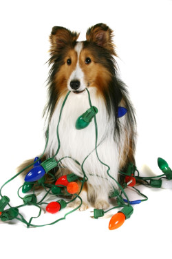 A sheltie holding a string of Christmas lights that are wrapped around him.